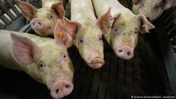Pigs in a stall at a pig farm (picture-alliance/dpa/C. Jaspersen)