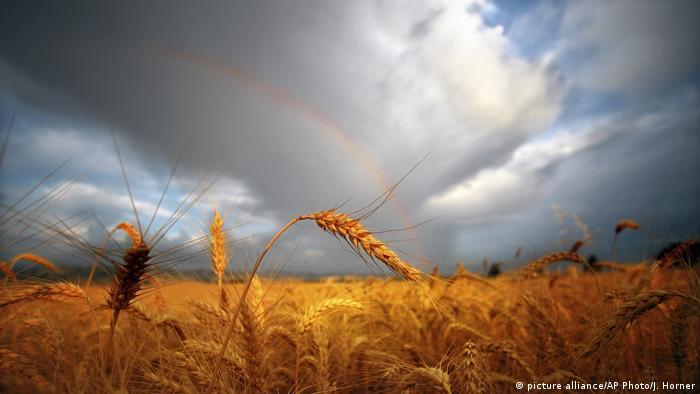 Weizenfeld im Bundesstaat Washington, USA