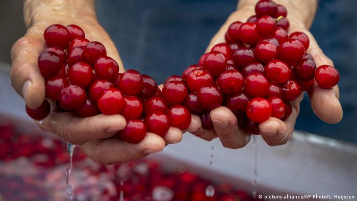 Kirschanbau, Kirschbäume, Farm, USA, cherry farm , (picture-alliance/AP Photo/L. Hogsten)