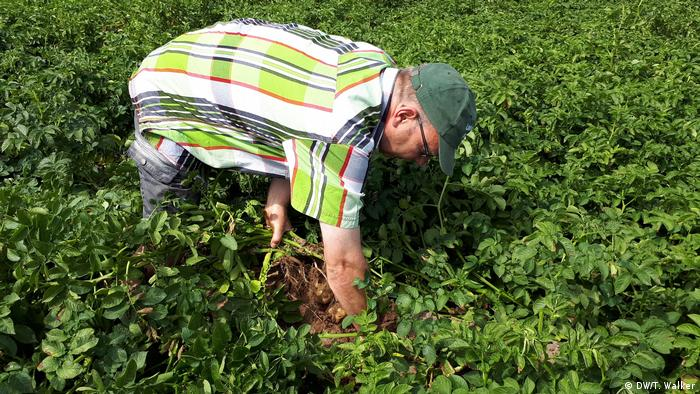 A farmer bends over in a field of potato plants