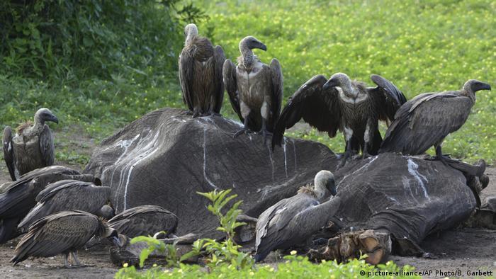 Botswana Geier im Chobe-Nationalpark