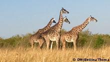 Projekt namens TenBoma, das der Internationale Fund of Animal Welfare IFAW ins Leben gerufen hat, soll Elefantenwilderern in Kenia die Flinte aus der Hand genommen werden, noch bevor der erste Schuss fällt. Um das zu erreichen werden Wildhüter zu Datenexperten weitergebildet. Sie durchforsten Informationen über Wilderer, die die kenianische Naturschutzbehörde über Jahre hinweg gesammelt hat. Außerdem geht es um eine enge Zusammenarbeit mit der lokalen Bevölkerung, den Massai. Wenn alle Räder ineinandergreifen, haben die Tiere etwas davon, aber auch die Ranger, die weniger oft in lebensgefährliche Auseinandersetzungen mit den Wilderern geraten. Die Erfinderin des Projekts, Faye Cuevas, sieht ihre Arbeit als Berufung: Wenn unsere Generation nichts unternimmt, werden Elefanten aussterben, sagt die dreifache Mutter.