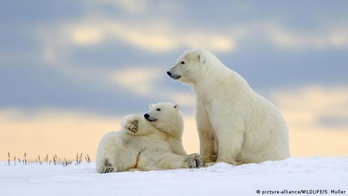 Alaska - Eisbaer (picture-alliance/WILDLIFE/S. Muller)