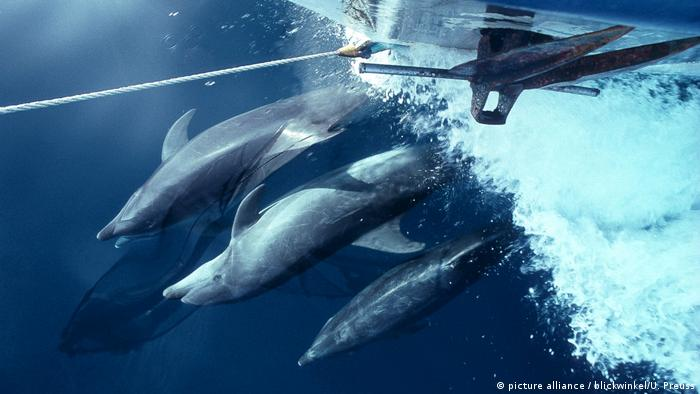 Dolphins in front of the bow of a ship