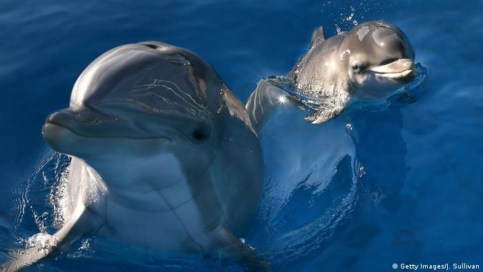 Two dolphins with their heads out of water