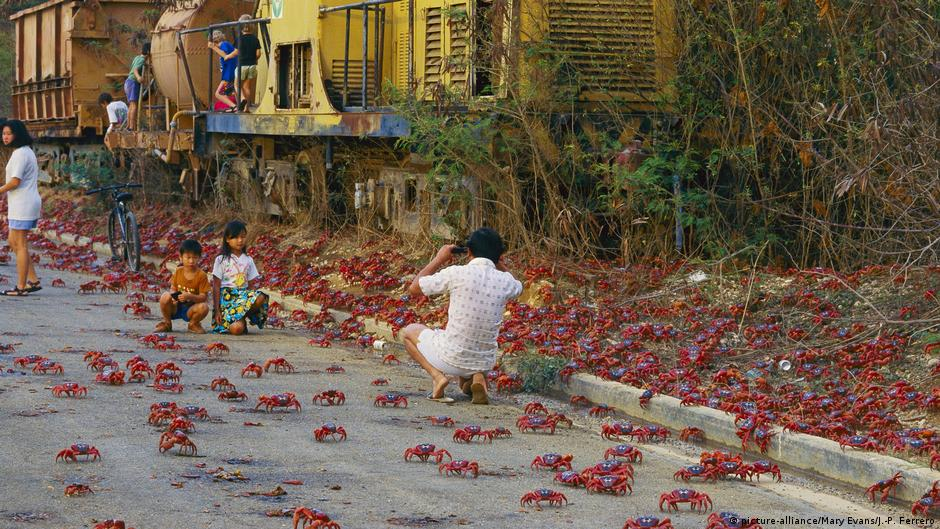 Our Beautiful Planet Christmas Island S Red Crabs On