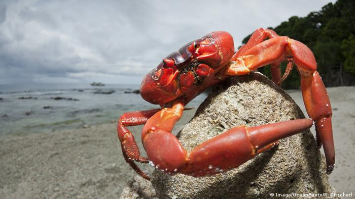 Christmas Island Red Crab.Our Beautiful Planet Christmas Island S Red Crabs On The