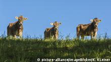 Allgäuer Kühe, Braunvieh, auf der Weide, blauer Himmel, Schwaben, Bayern, Deutschland, Europa | Verwendung weltweit, Keine Weitergabe an Wiederverkäufer.