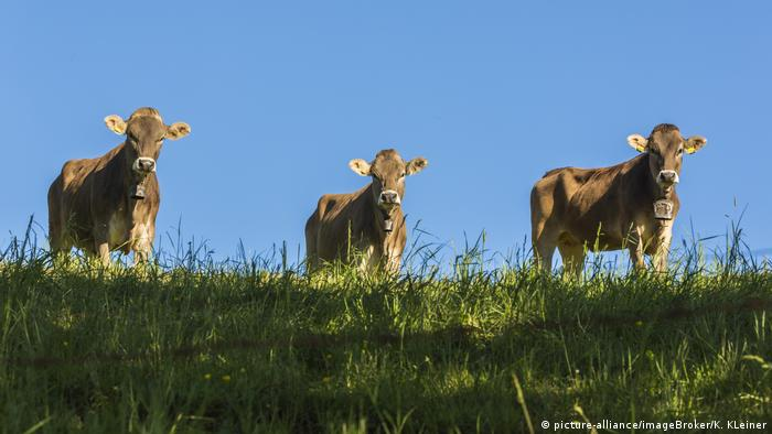 Three cows stand in a meadow beneath a blue sky