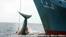 ARCHIV - HANDOUT - 07.01.2006, genauer Ort unbekannt: Ein harpunierter Wal wird an Bord des japanischen Walfangschiffes «Yushin Maru» gezogen, das im Atlantischen Ozean kreuzt. (Zu dpa IWC-Tagung in Brasilien: Japaner wollen Walfangverbot kippen) Foto: Jeremy Sutton-Hibbert/GREENPEACE/EPA/dpa - ACHTUNG: Nur zur redaktionellen Verwendung und nur mit vollständiger Nennung des vorstehenden Credits +++ dpa-Bildfunk +++ |