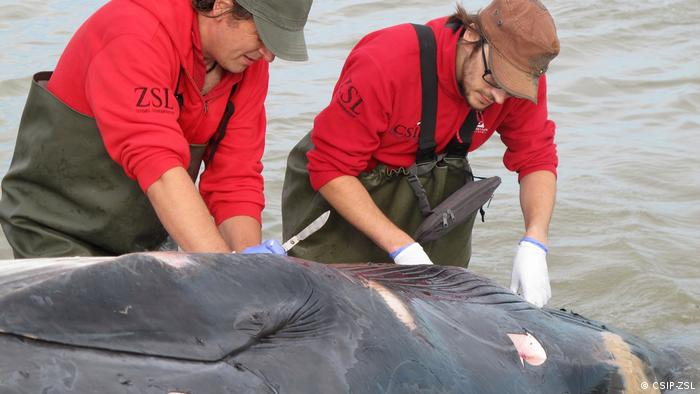Two scientists working with the Cetacean Strandings Investigation Programme cut into a dead whale