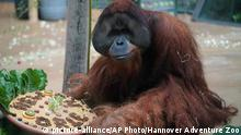 In this Aug 31, 2018 photo provided by the Audubon Nature Institute, orangutan Jambi gets a farewell treat at the Hannover Zoo in Hannover, Germany. Jambi is leaving Hannover for Dallas, where he'll spend a month in quarantine before moving on to the Audubon Zoo in New Orleans. (Hannover Adventure Zoo/Audubon Nature Institute via AP) |