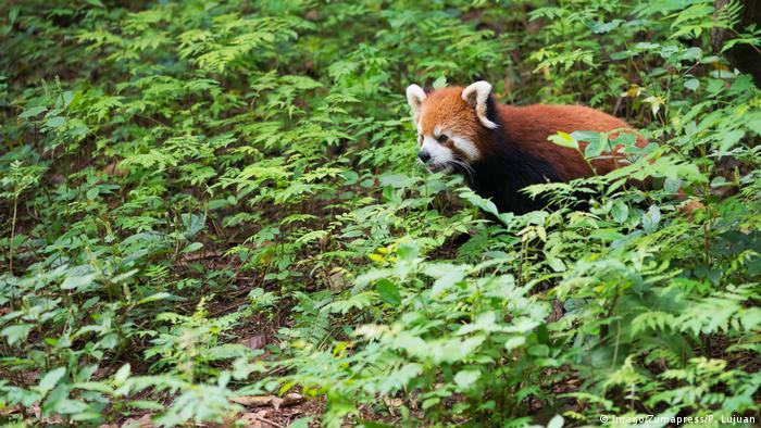 A red panda walking among shrubs