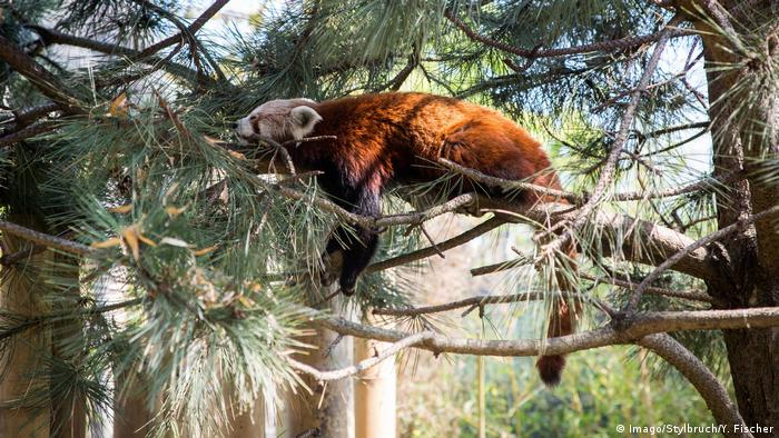 A red panda in the tree