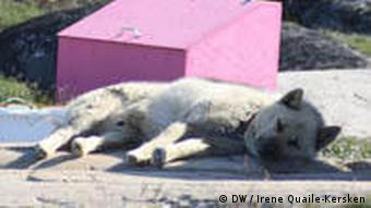 A sled dog lies in the shade of his dog house