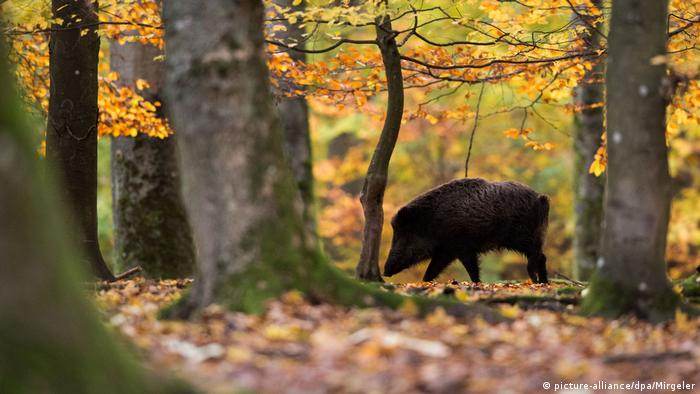 A wild boar in a wood