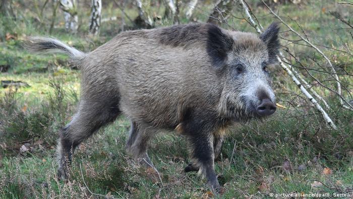 Deutschland Afrikanische Schweinepest - Wildschwein