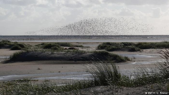 Wadden Sea at low tide, with a flock of birds flying overhead