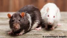 Symbolbild Ratten