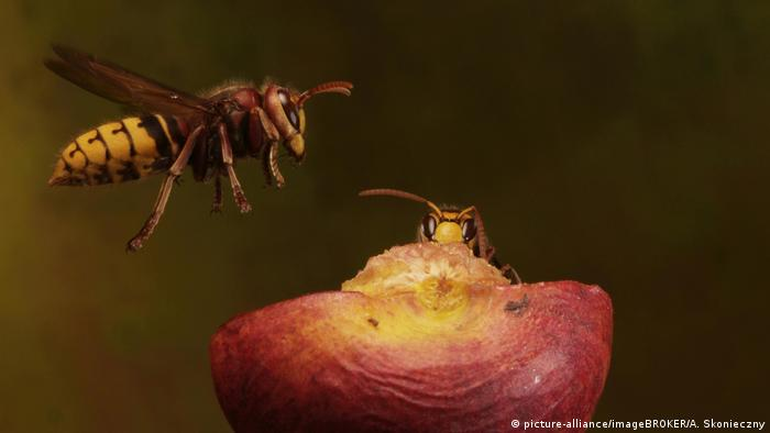 Wasp feed on an apple (picture-alliance / imageBROKER / A. Skonieczny)
