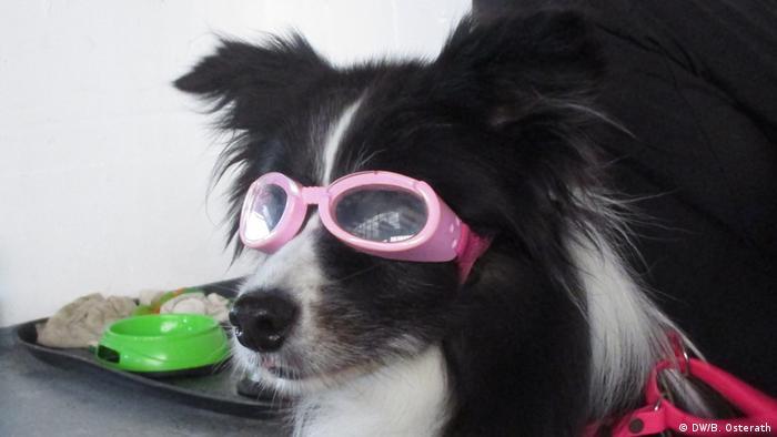 9c757be8c7 Miopía: cuando el perro necesita gafas | Ciencia y Ecología | DW ...