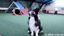 Border-Collie-Dame Piper ist kurzsichtig mit minus 3,5 Dioptrien. Beim Hundesport trägt sie daher eine Brille. Hier in der Hundesporthalle in Wülfrath. Foto: Brigitte Osterath Ort und Datum: Wülfrath, 6.9.2018