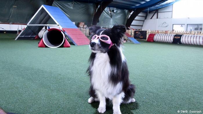 Kurzsichtiger Hund mit Brille beim Agility-Training