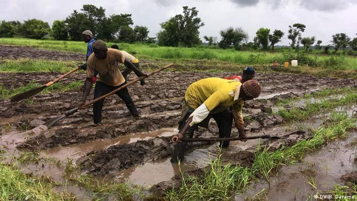 Arbeiter auf Reisfeldern in Guinea-Bissau