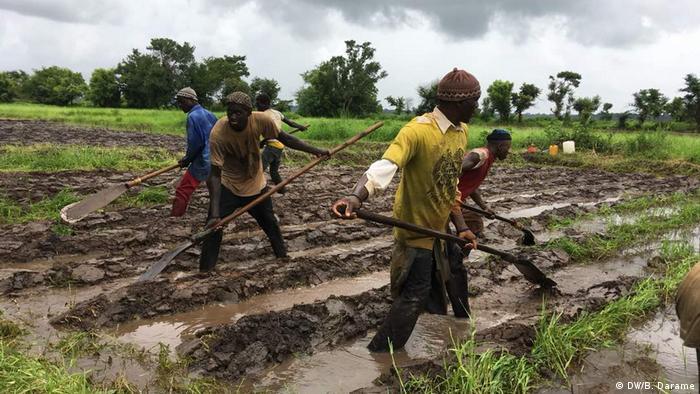 Bauern auf einem Reisfeld in Guinea-Bissau