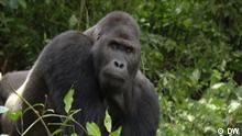 eco@africa, Gorilla im Kongo