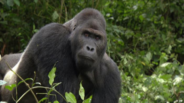 A gorilla in DR Congo