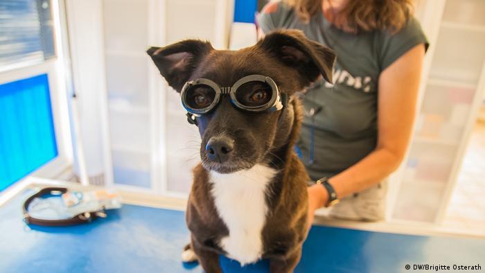 Mischlingshündin Cleo probiert eine Brille bei der Augentierärztin Ariane Petzold in Aachen an