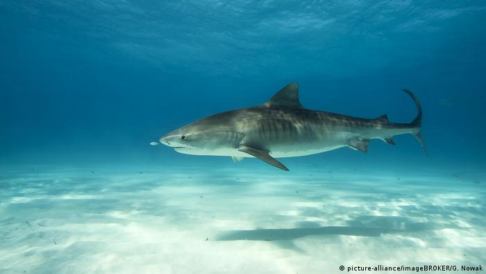 A tiger shark swimming in the Bahamas (picture-alliance/imageBROKER/G. Nowak)