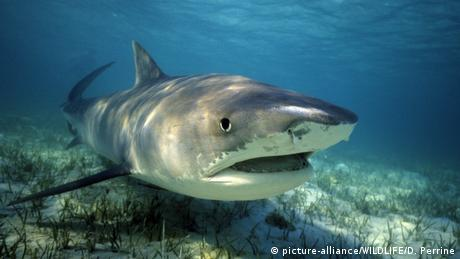 A tiger shark (picture-alliance/WILDLIFE/D. Perrine)