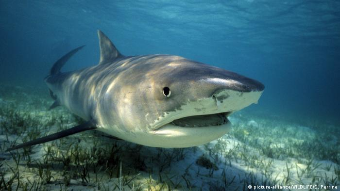 A tiger shark above a sandy ocean floor (picture-alliance/WILDLIFE/D. Perrine)