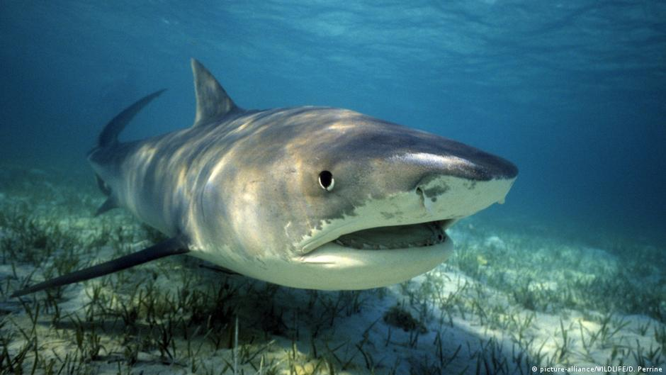 Australia Tiger Sharks Killed After Attack On Tourists