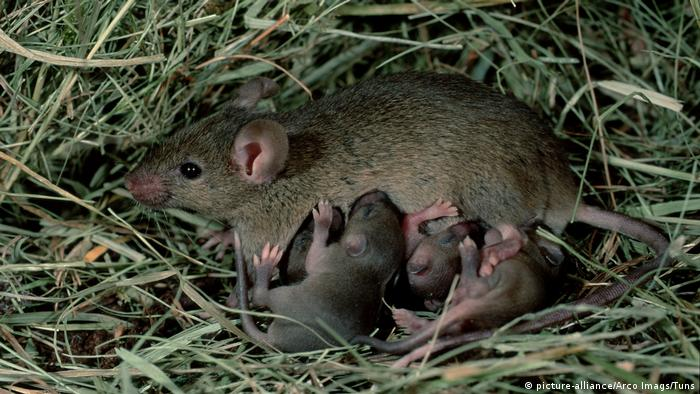 Ein Mäuseweibchen säugt ihre Jungtiere (Bild: picture-alliance/Arco Imags/Tuns)