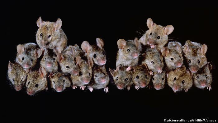 Zwei Gruppen Hausmäuse (Bild: picture-alliance/Wildlife/A.Visage)