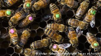 For their study, scientists exposed honey bees to glyphosate and painted the bees' backs with colored dots so they could be tracked and later recaptured