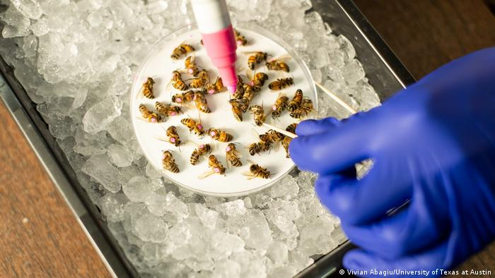 Researchers from the University of Texas at Austin have shown that glyphosate is hazardous for bees