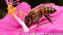 Bienen und Glyphosat