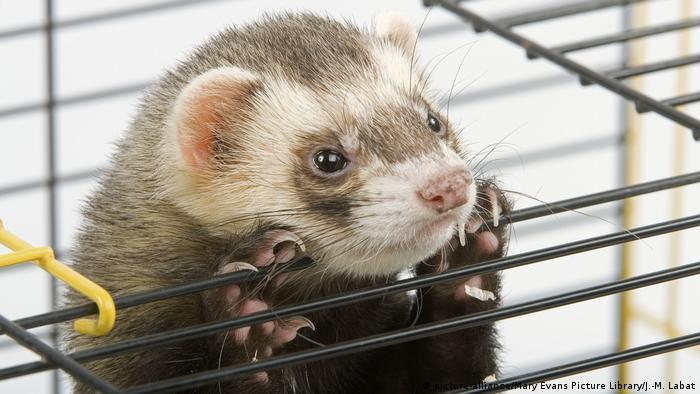 A ferret in a cage (picture-alliance/Mary Evans Picture Library/J.-M. Labat)