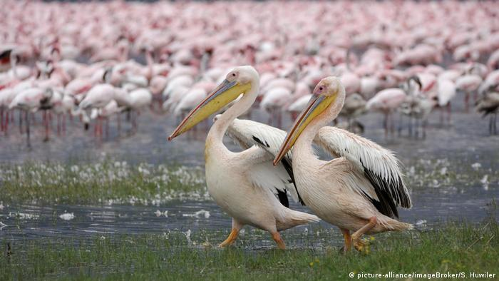 A pair of great white pelicans walk in front of a group of flamingos.