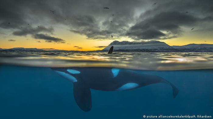 Schwertwale vor Norwegen (Foto: picture alliance/eurekalert/dpa/A. Rikardsen)