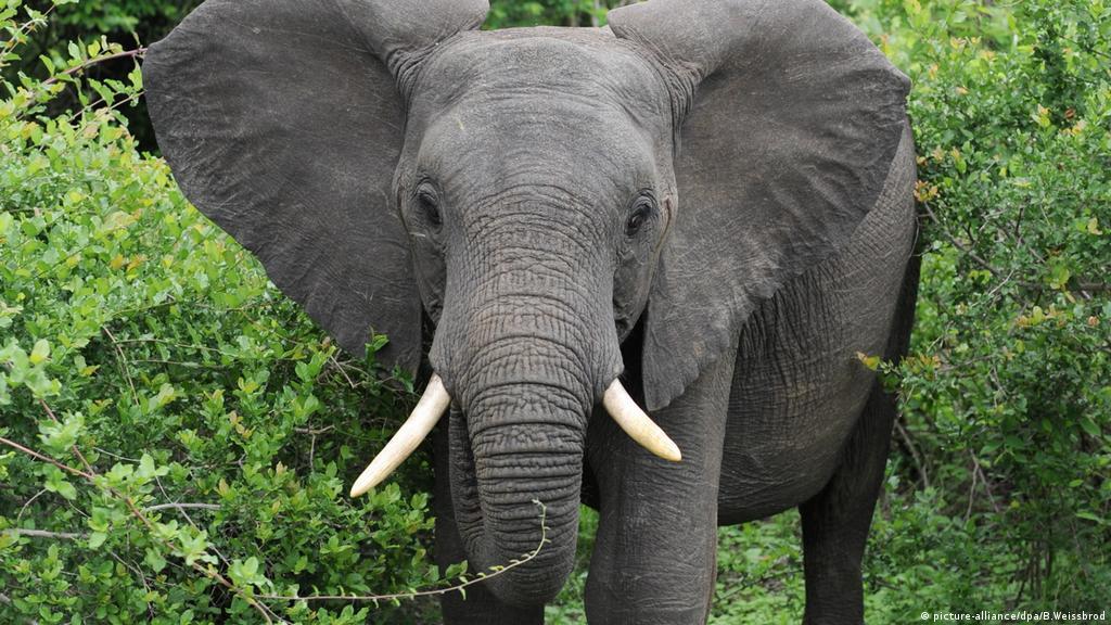 Zimbabue: elefante mata a pisotones a una turista alemana   Europa al día    DW   27.09.2018