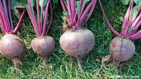 DW eco@africa - Bernstein red beets in a row