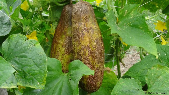 DW eco@africa - A Russian cucumber