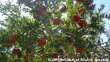 Granatapfel Ernte in Afghanistan