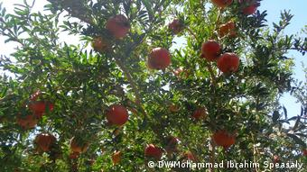 Granatapfel Ernte in Afghanistan (DW/Mohammad Ibrahim Speasaly)