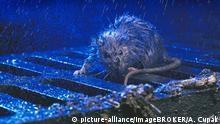 Wanderratte (Rattus norvegicus), Kanaldeckel, Regen, Nacht   Verwendung weltweit, Keine Weitergabe an Wiederverkäufer.